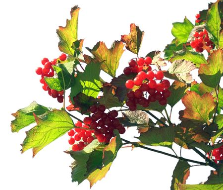 Twig of a snowball tree with clusters of red berrys (isolated on white) photo