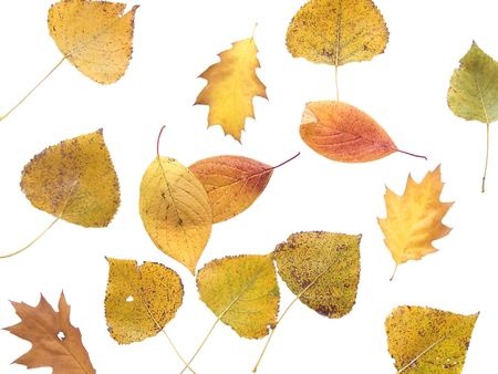 asp: Autumn yellow leaf of asp and oak isolated on white
