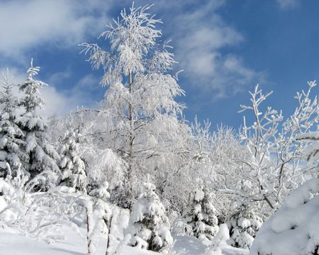 winter snow and rime covered birch and spruce-trees on mountainside
