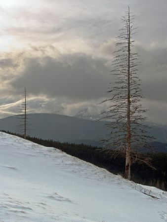 dried up: Winter mountainside with dried up fir trees on evening sun illuminate cloudy sky background Stock Photo
