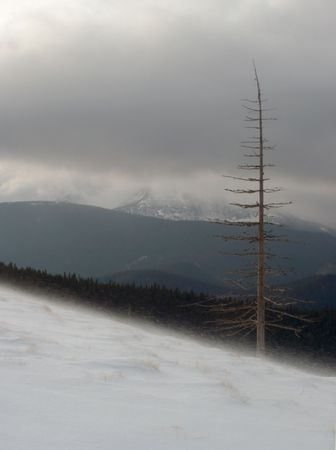 dried up: Winter mountainside with dried up fir trees and first signs of evening blizzard beginning