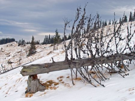 dried up: breaking dried up tree on winter mountainside (with wind signs on mount ridge)