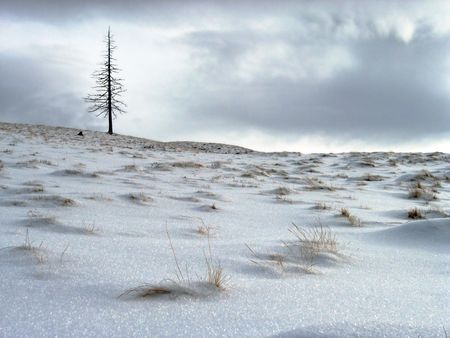 dried up: Winter mountainside with lonely dried up fir tree on cloudy sky background