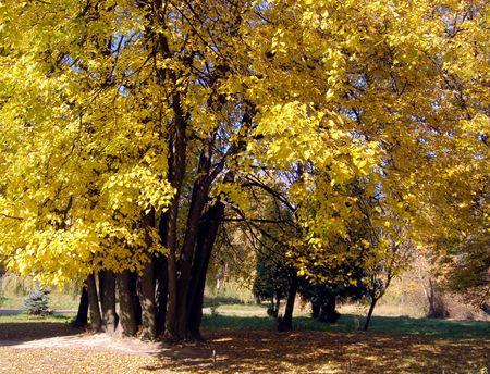 limetree: Yellow colourful lime-tree in autumn park Stock Photo