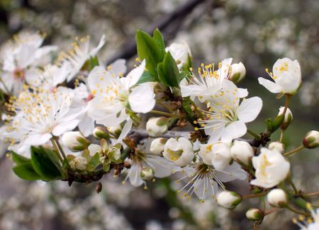 cherrytree: Blossoming twig of cherry-tree (on blossom tree background)
