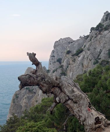 littoral: withered knotty juniper tree trunk and littoral rock behind