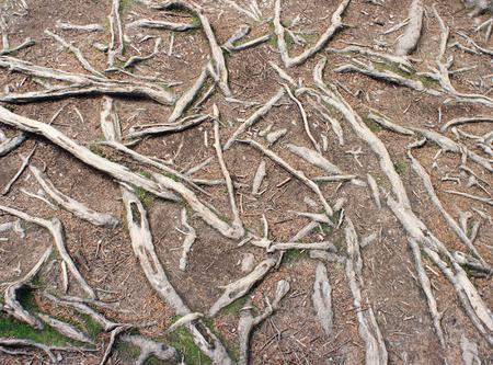 enigmatic: Le radici di abete-alberi in foresta enigmatico Carpazi