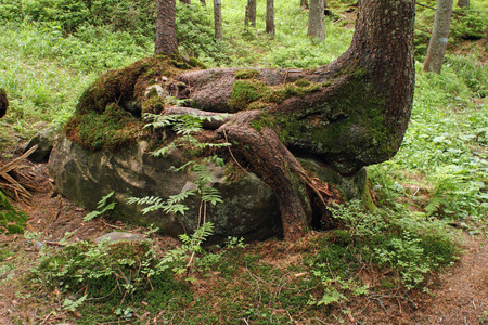enmesh: Old spruce tree to entangle in his roots a big stone on which it grow Stock Photo
