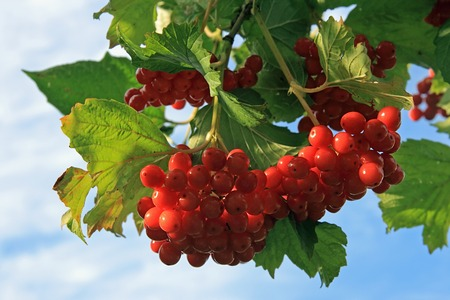 viburnum bush with red berryes bunchs on sky background