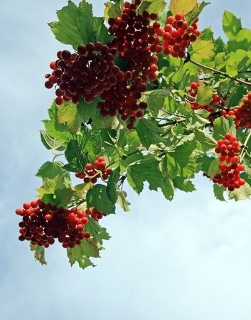 viburnum bush with red berryes bunchs on overcast sky background