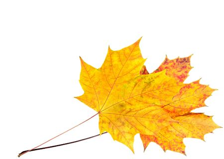 Two colorful autumn maple leafs on isolated white (corner position with copy space) Stock Photo