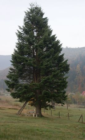 Big fir on mountain pasture and wood bench under photo