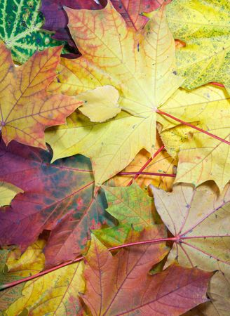 Colorful autumn maple leaf background