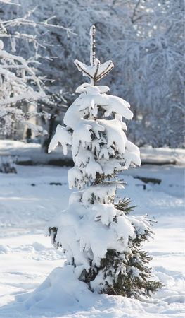 winter snow covered fir tree in city park photo
