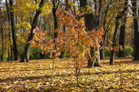 Golden tree foliage in autumn city park (focus foreground small tree) photo