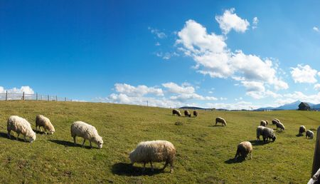 Sheep herd on mountain plateau pasture (Carpathian mountain, Ukraine). In opposite sunlight direction. Three shots stitch image. photo