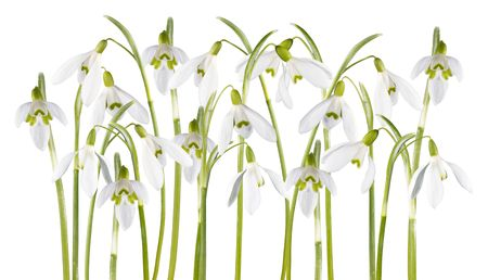 festal: Spring snowdrop flowers set isolated on white (with path) Stock Photo