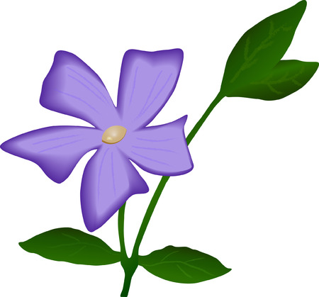 blossoming: Blossoming periwinkle plant Blossoming periwinkle plant with flower (vector) Illustration