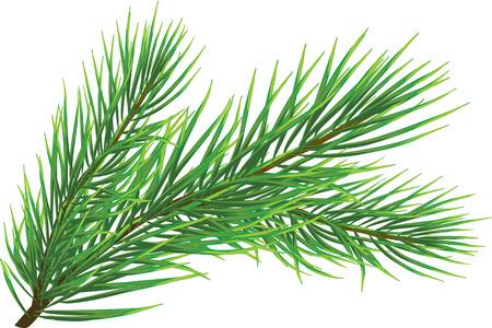 spruce: Ramita del abeto aislada en el blanco (vector)