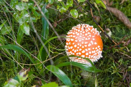 mottling:  Red toadstool in forest