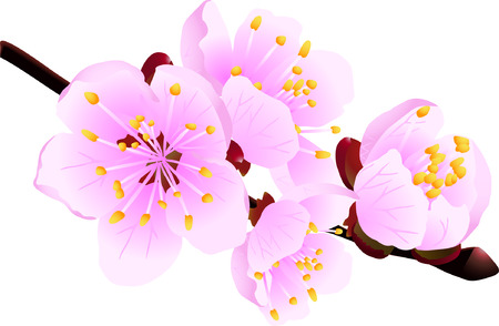 Blossoming twig of spring fruit tree isolated on white (vector illustration) Vector
