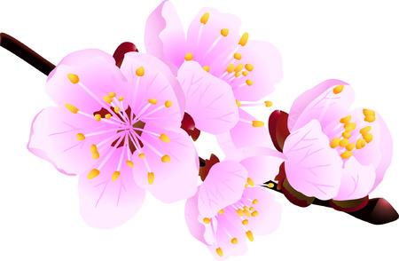 Ramita floreciente del árbol frutal del resorte aislado en el blanco (ilustración del vector) Foto de archivo - 2733927