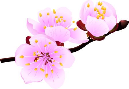 Ramita florecimiento de la primavera de árboles frutales aislados en blanco (ilustración vectorial)  Foto de archivo - 2733926