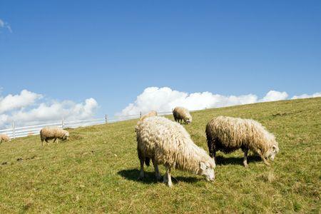 plateau: Sheep herd on mountain plateau pasture (Carpathian mountain, Ukraine).