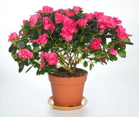 Home planten azalea