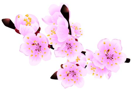 neatness: Blossoming twig of spring fruit tree isolated on white (rasterize from vector) Stock Photo
