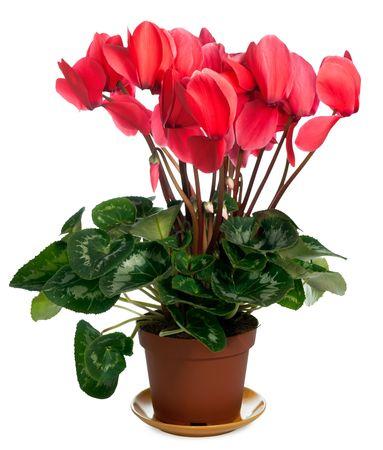 Home plant (Cyclamen)