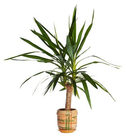 yucca: Home plant (Yucca)