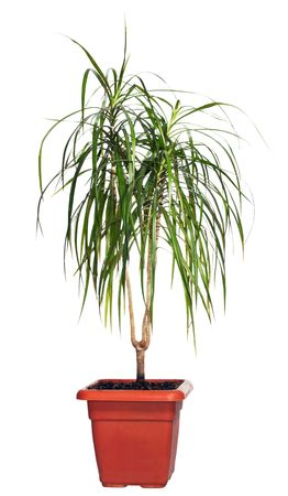 Home plant (Dracaena) Standard-Bild