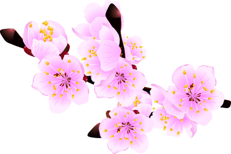 neatness: Blossoming twig of spring fruit tree isolated on white (vector illustration)
