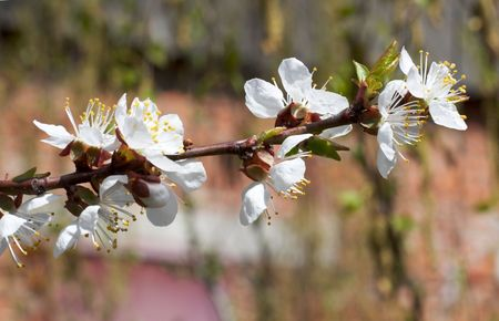 cherrytree: Blossoming twig of cherry-tree (on brick wall background)