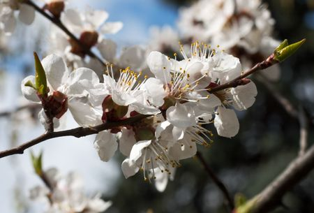 cherrytree: Blossoming twig of cherry-tree (on blossom tree and sky background) Stock Photo