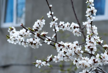 cherrytree: Blossoming twig of cherry-tree (on house with open windows background)