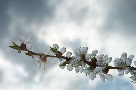 cherrytree: Blossoming twig of cherry-tree (on overcast sky background)