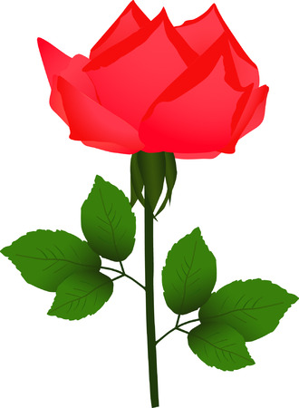 neatness: Flower of rose isolated on white (vector illustration)