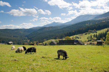 Sheep herd on mountain plateau pasture  near village (Carpathian mountain, Ukraine).  photo