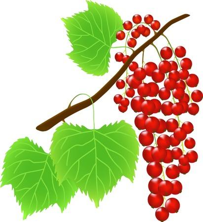 レッドカラント: 甘酸っぱい赤すぐりベリー (ベクター イラスト) の小枝  イラスト・ベクター素材