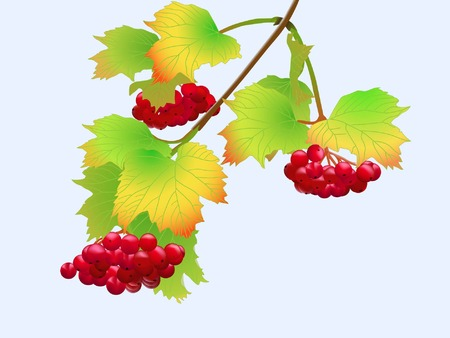 viburnum twig with red berryes bunches on blue background (vector illustration)