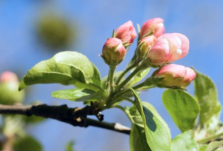 Blossoming twig of apple-tree (on blossom tree and sky background) Stock Photo - 3169643