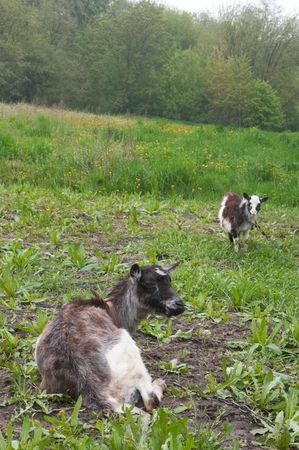 husbandry: Two goats on green meadow Stock Photo