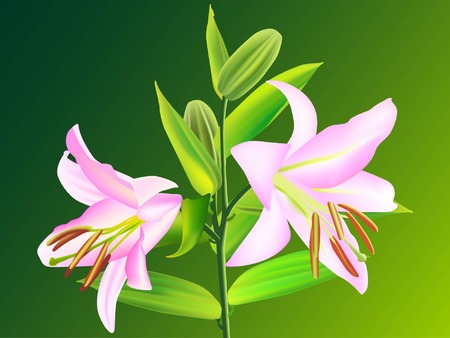pink lily: Pink lily, Liliaceae lilium, isolated on green background (vector illustration)