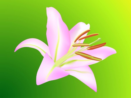 Pink lily, Liliaceae lilium, isolated on green background (vector illustration)