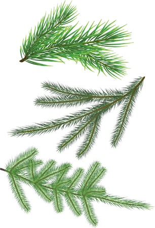 conifer: Fir twig collection isolated on white (vector illustration)
