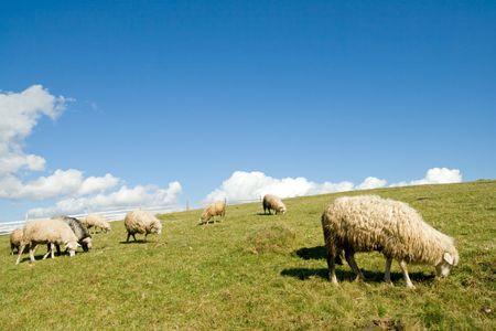 Sheep herd on mountain plateau pasture (Carpathian mountain, Ukraine). photo