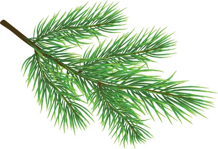 evergreen: Fir twig isolated on white ( vector)