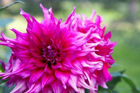 pion: Pink-red pion flower in garden Stock Photo